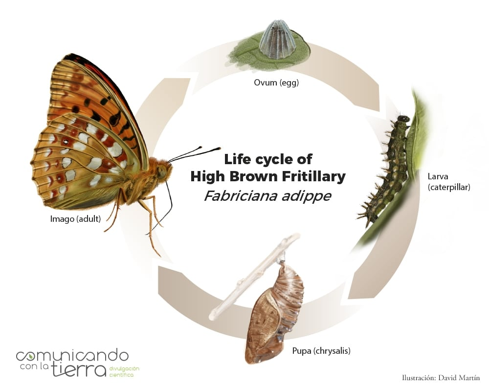 Life cycle Fabriciana adippe