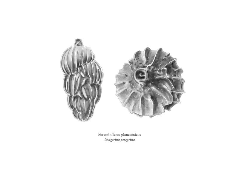 Foraminíferos - Ilustración científica