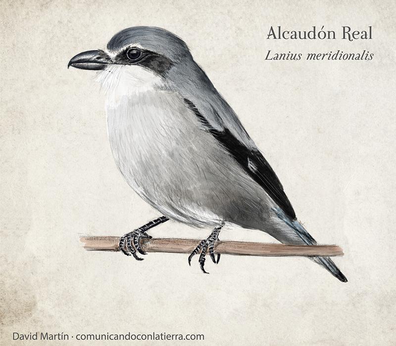 Alcaudón Real - Lanius meridionalis